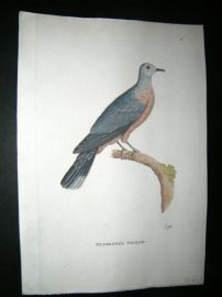 Shaw C1800's Antique Hand Col Bird Print. Dufresne's Pigeon
